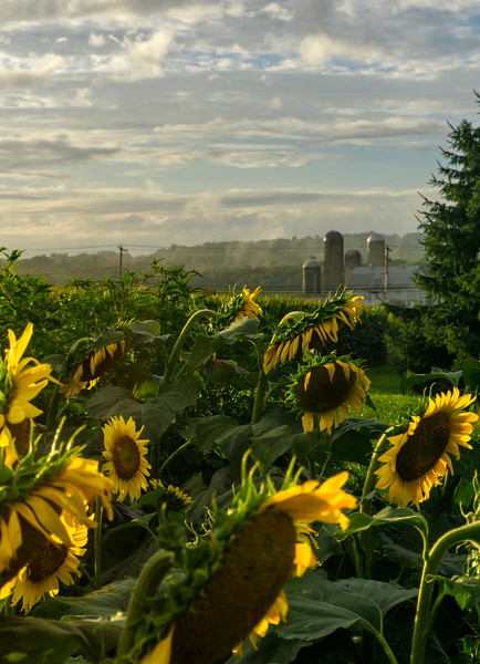 1509- sunflowers 2018 - elverson farm background (p).jpg