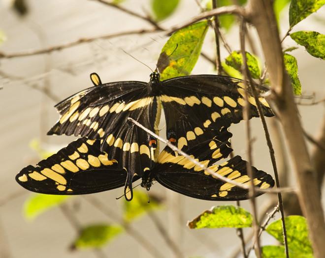 bronxzoo_Giantswallowtails_mating.jpg