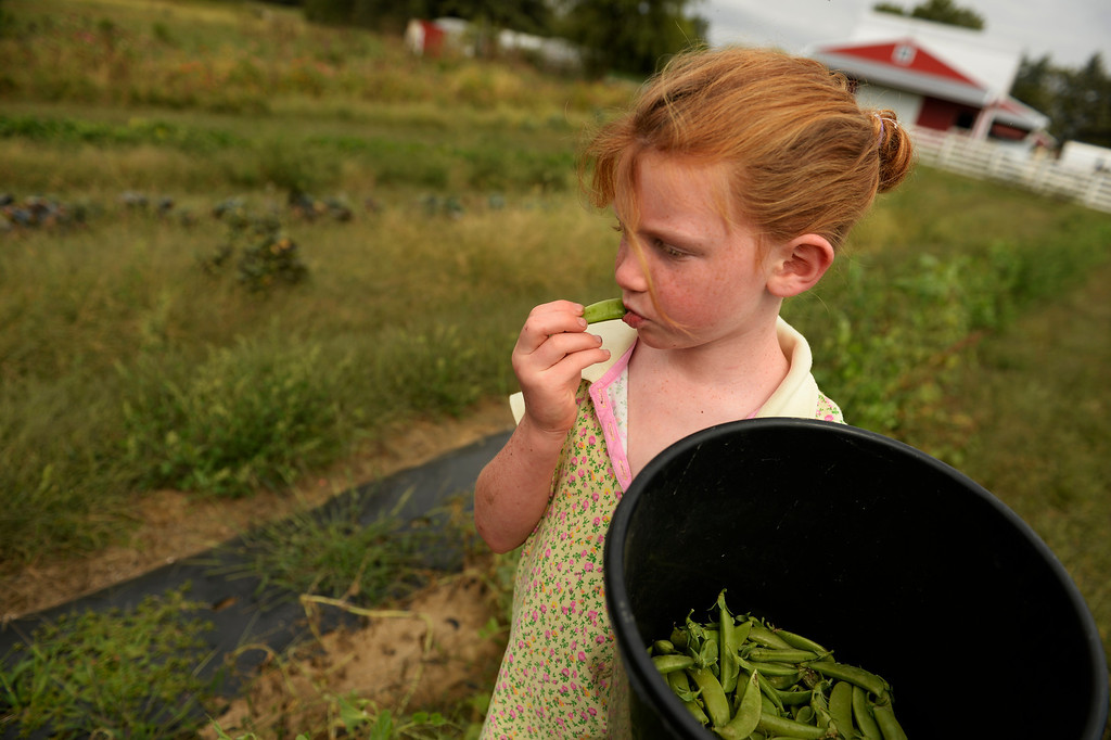 . Shekinah Newman, 6, eats sweet peas from the bucket she is holding for family picking peas ahead of her in Trenton, Mo., Tuesday, September 24, 2013. With 11 children the family depends on much of the food they grow. (Photo By RJ Sangosti/The Denver Post)