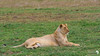 A gorgeous lioness stretches out in the open