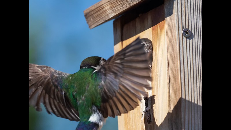 Swallows0720.mp4
