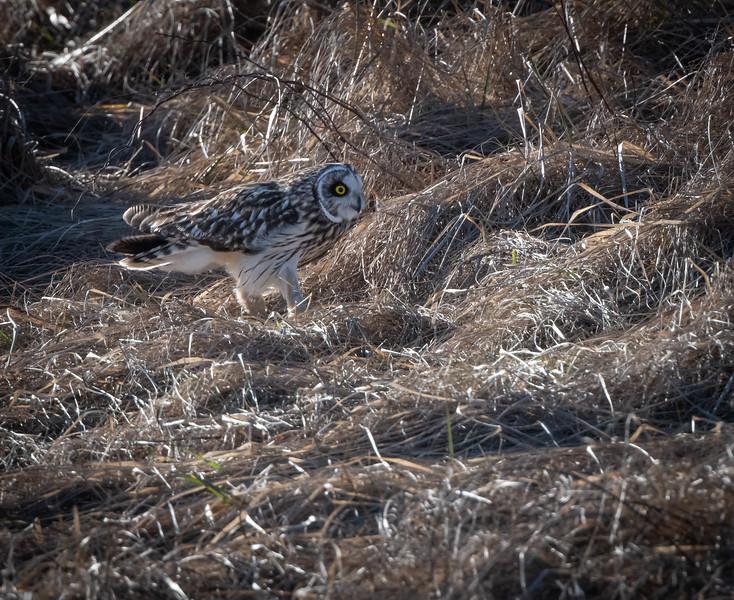 Short-eared Owl taking a walk