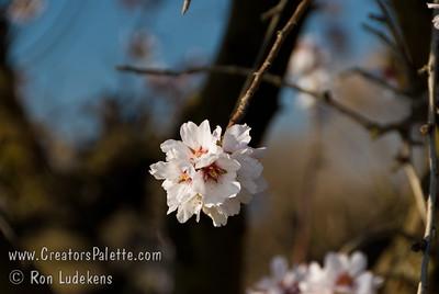 Ne Plus Almond (Prunus dulcis)
