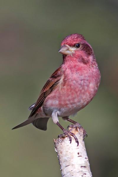 Finch - Purple - male - Dunning Lake, MN - 04