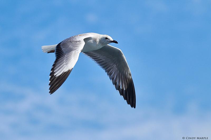 Silver Gull, juv