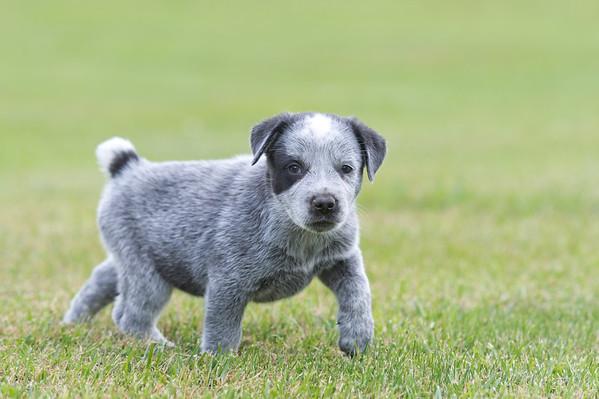 Puppies - 6 weeks