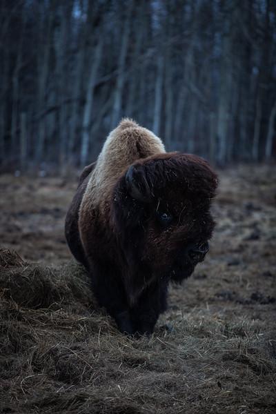 AHP171212_buffalo1416.jpg