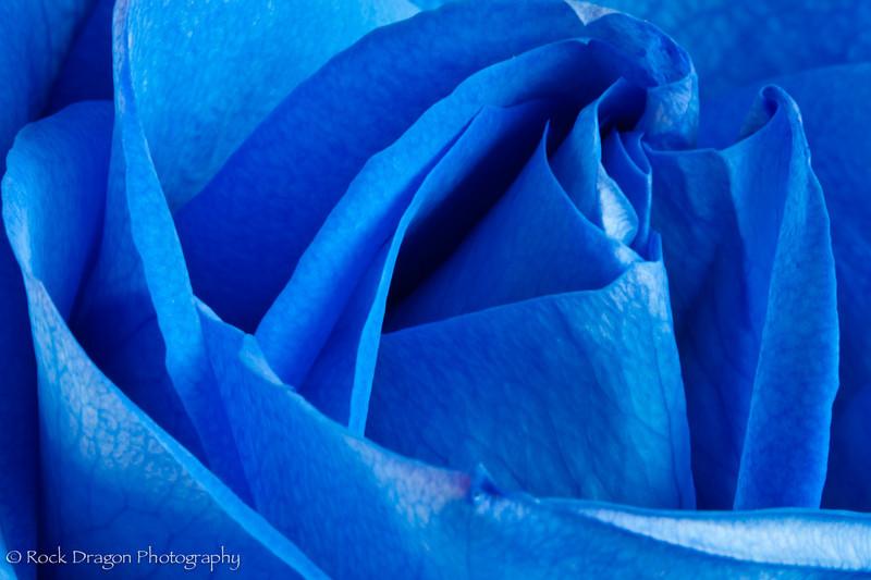 Blue_Rose-6.jpg