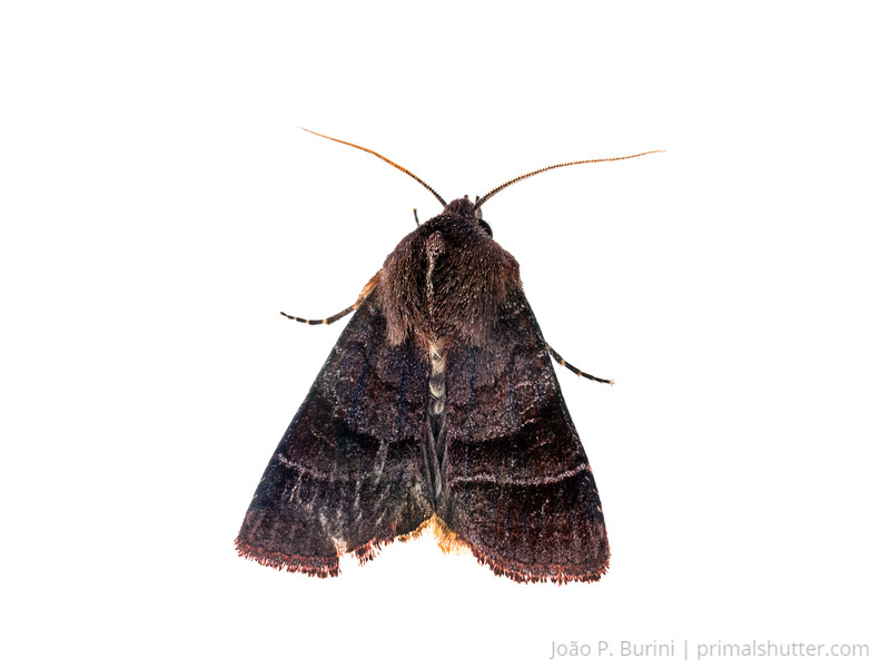 Unidentified moth (Lepidoptera) Atlantic forest (rock outcrop vegetation) Itatiaia National Park, Itamonte MG, Brazil March 2018