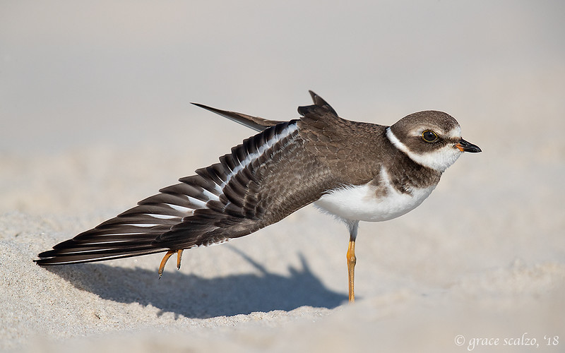 Stretching juvenile Semipalmated Plover