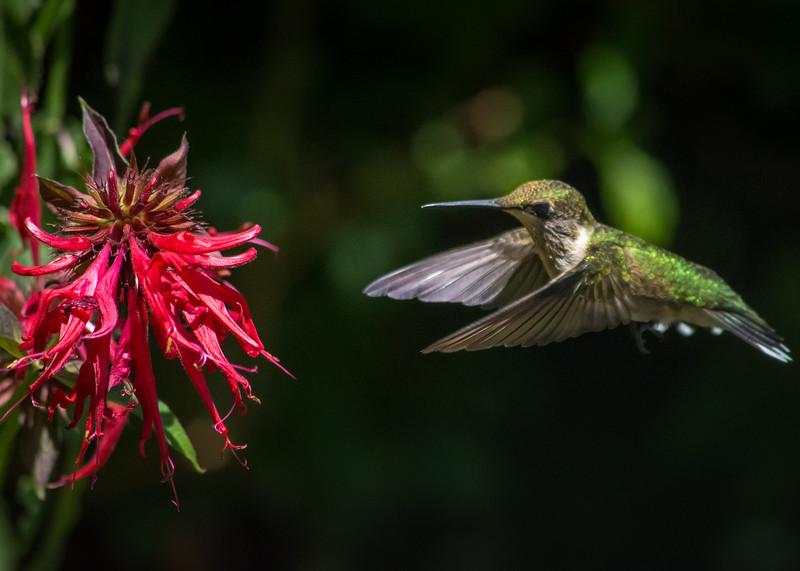 hummingbird 4 july 21 2016 (1 of 1).jpg
