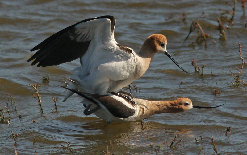 WB~Avocets Mating Ritual male mounting1280.jpg