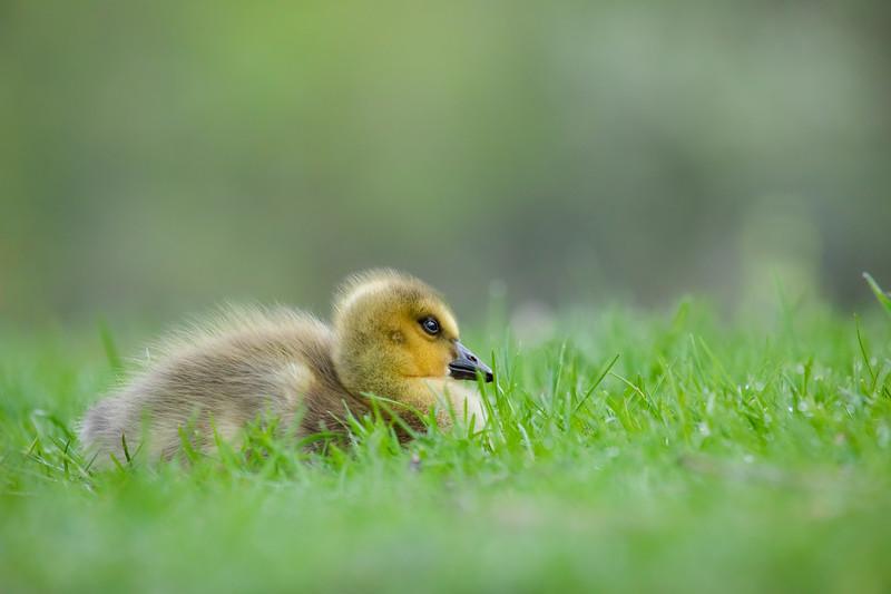 Canada Goose Gosling-6.jpg