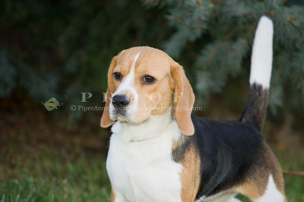 Beagle DC