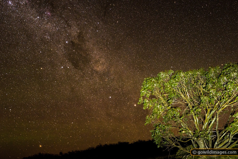 A Snow gum frames the Southern Cross and Milky Way near GGS Hut, Mt Stirling
