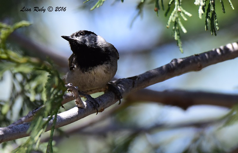 Mountain Chickadee  - 6/4/2016 - Mt. Laguna Visitor's Center