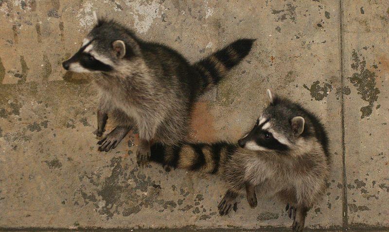 racoons-01.jpg