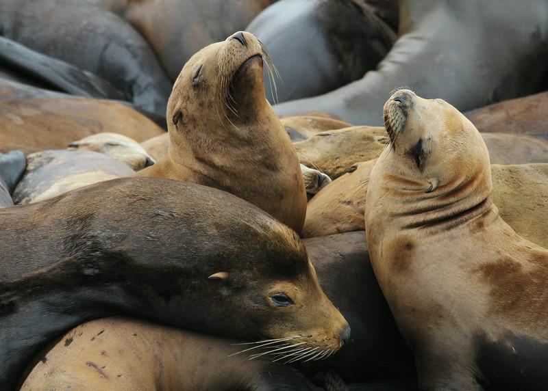 CALIFORNIA SEA LIONS - MOSS LANDING, CALIFORNIA