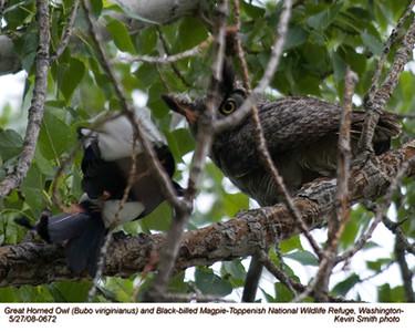 GreatHornedOwl&Magpie0672.jpg