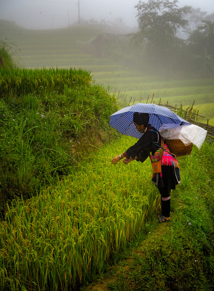 Touching and colorful rural life scene in the rice fields of Sapa Mountains.
