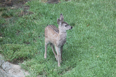 Two fawns and a doe on lawn - June 15, 2014