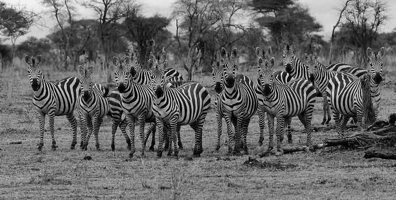 Alert-Zebras.jpg