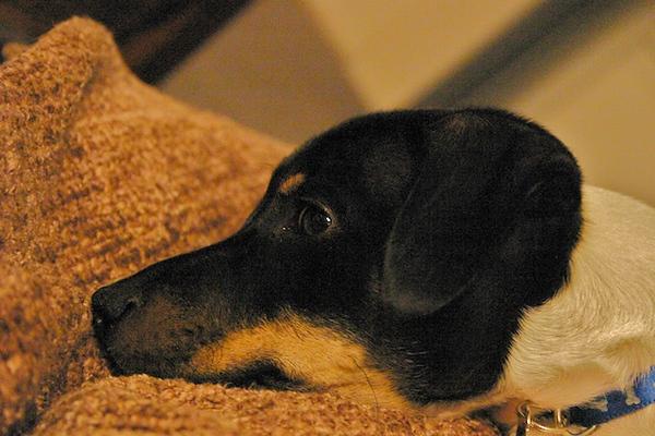 Arlo :: Puppy - 1 Yr