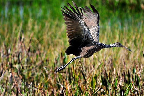 Wildlife in the Everglades
