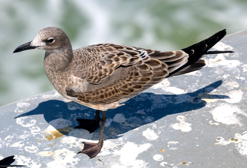 Juvenile American Herring Gull posing for us
