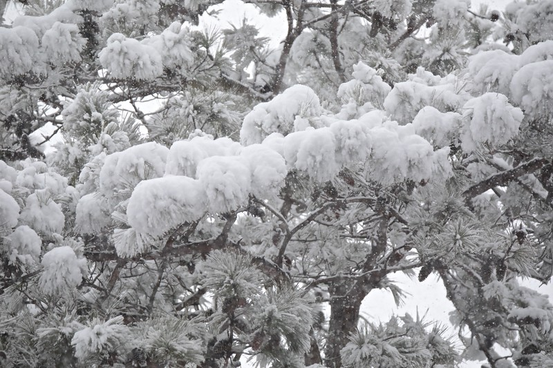 The heavy wet snow is weighing down the trees and bushes
