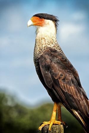 Crested Caracara, Osceola County, FL