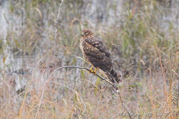 2008-11-10 Riverlands Migratory Bird Sanctuary