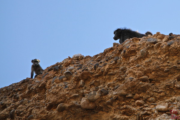 Baboon at the Sesriem canyon, Namibia