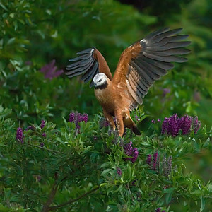 Blackcollared Hawk