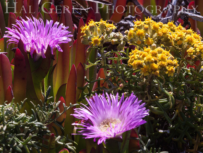 Iceplant and Misc Flowers Garrapata Creek Headlands Big Sur, California 1206BS-F4