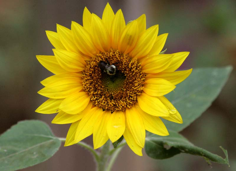 sunflower II.jpg