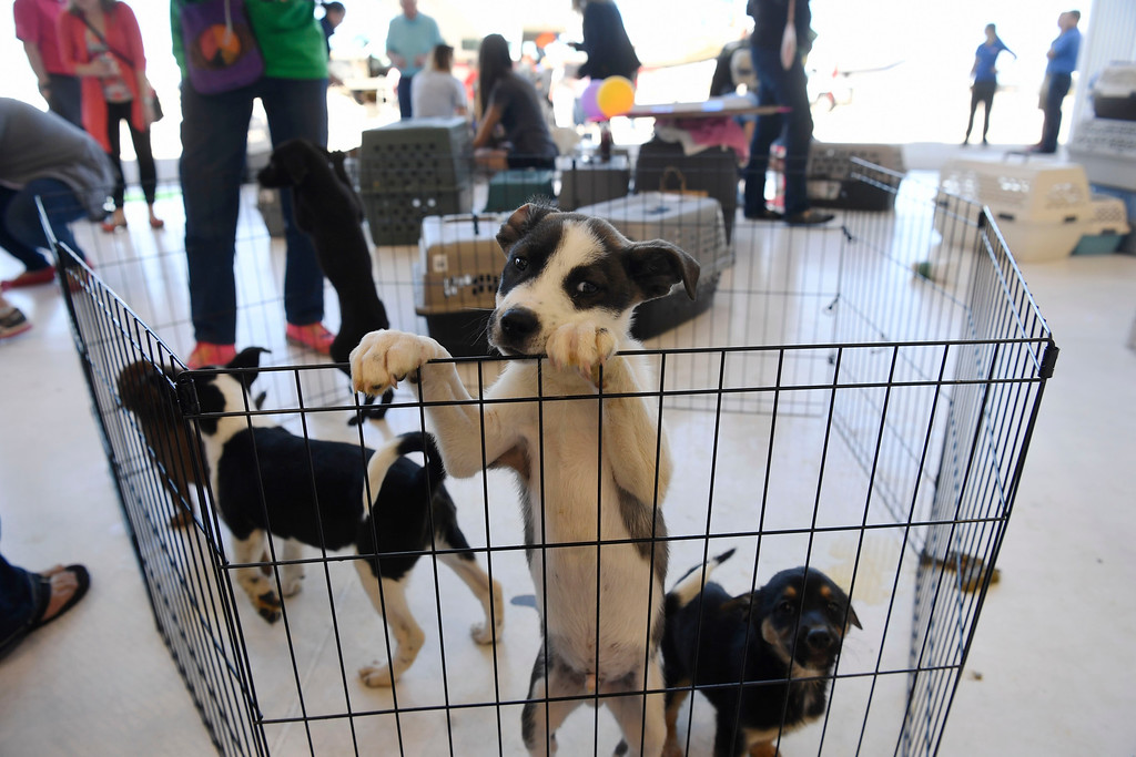 . Puppies await their foster parents after being flown into Centennial Airport by the Dog is My Copilot organization May 04, 2016. (Photo by Andy Cross/The Denver Post)