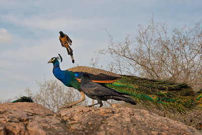 Indian Peafowl and other birds