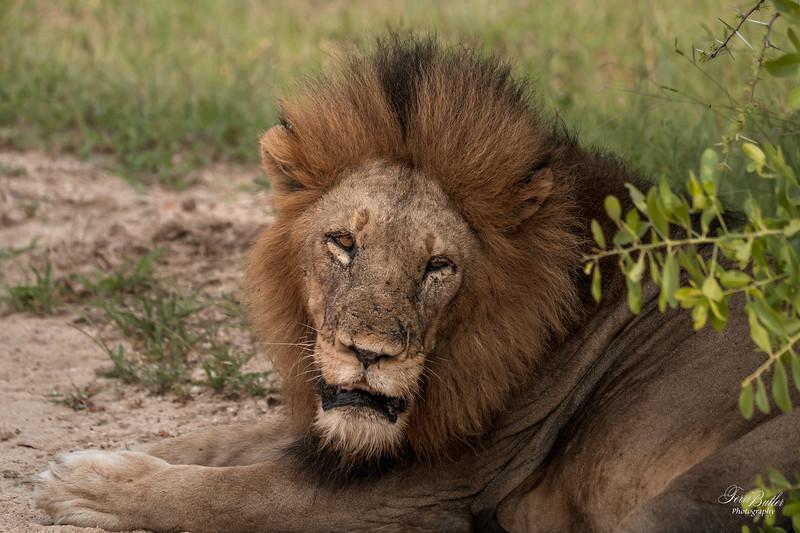 Lion_0673.jpg