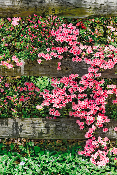 """Garden Blooms"" _DSC0221aeamador©-MDSC"