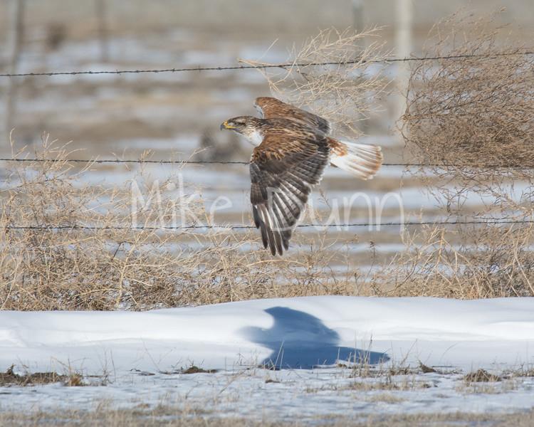 Ferruginous Hawk Flyby