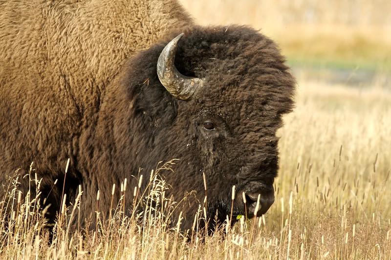 Bison Yellowstone NP WY IMG_0000445.jpg