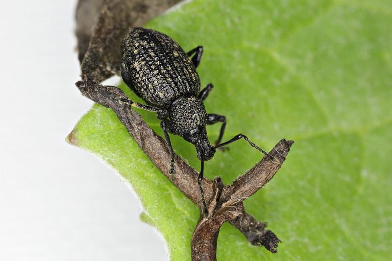 Weevil1.jpg