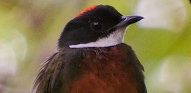 Brazil with FIELD GUIDES BIRDING TOURS