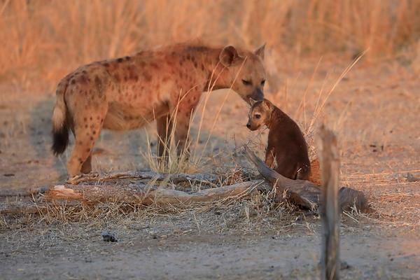2017 Hyena Den Kaingo Zambia