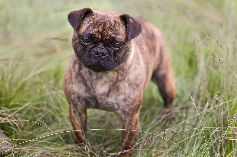 Bulldog 691.jpg