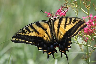 Butterflies of Los Alamos