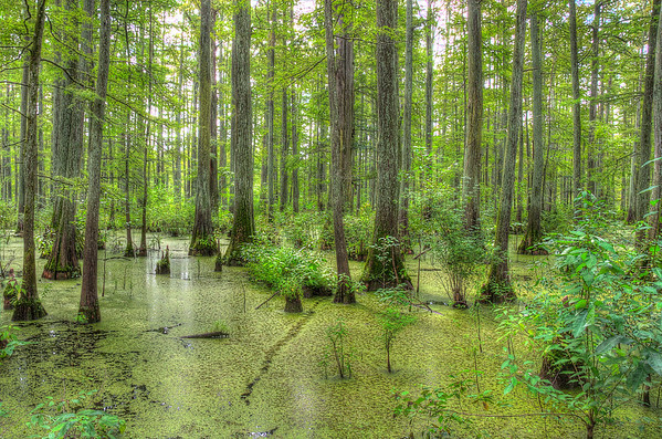 Illinois Cypress Swamp August 2013