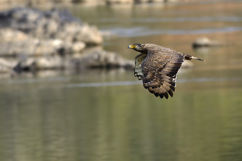 Crested-Serpent-Eagle-in-flight.jpg