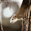 Variable brown and white squirrel climbing down tree 3